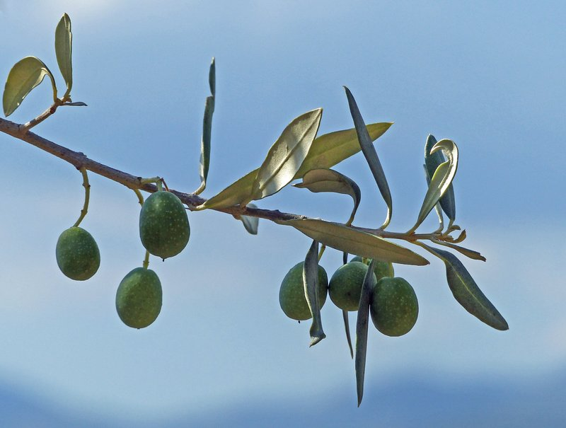 Olives growing, Arpino