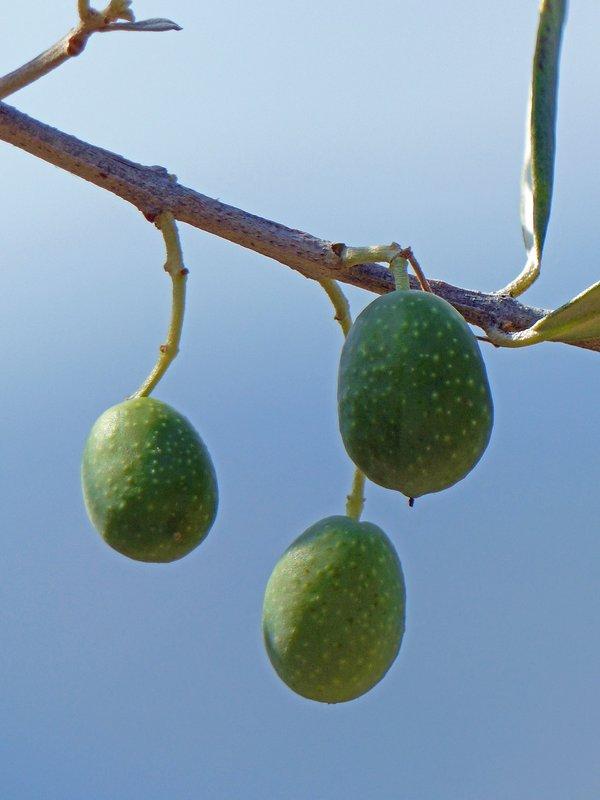 Olives, Arpino