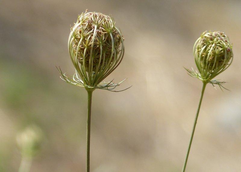 Seed heads, Santopadre