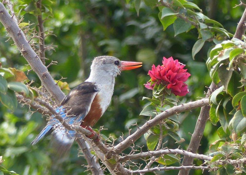 Grey-headed kingfisher in the Parque 5 de Julho