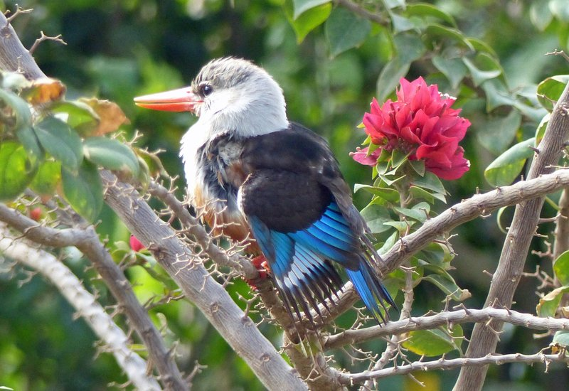 Grey-headed kingfisher in the Parque 5 de Julho
