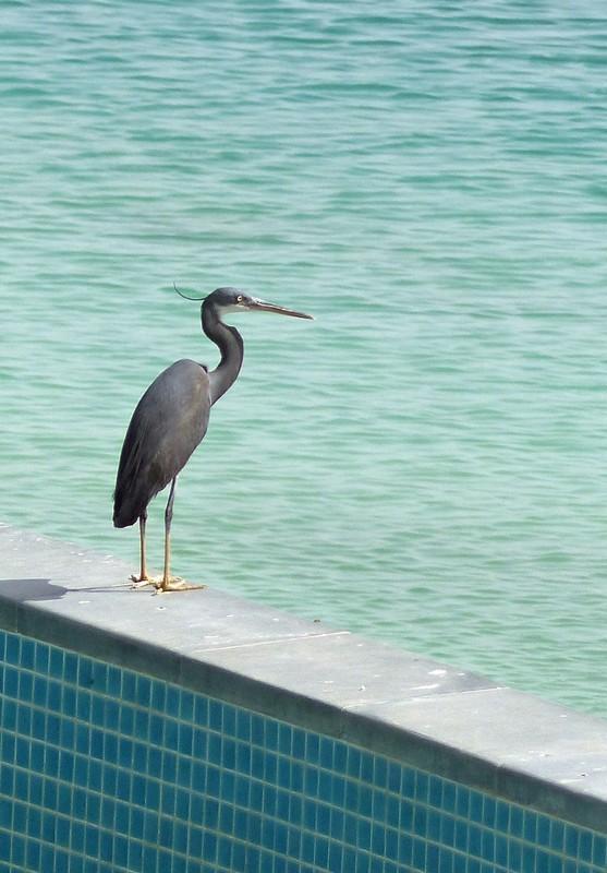 Heron at the Bab al Qasr hotel, Abu Dhabi