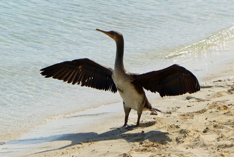 Cormorant on the beach, Bab al Qasr hotel