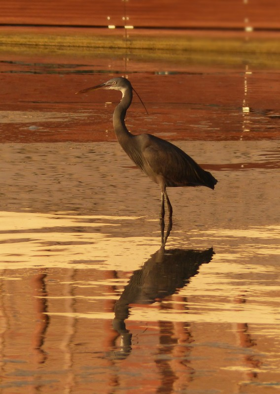 Heron on the beach, Bab al Qasr hotel, Abu Dhabi