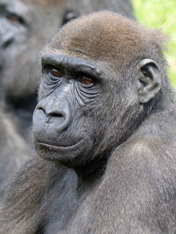 Young gorilla, Jersey Zoo