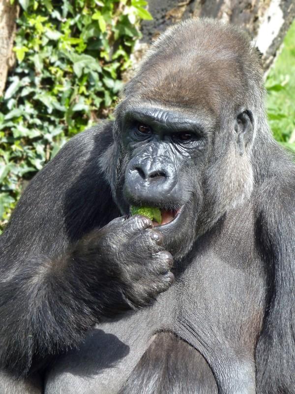 Gorilla eating, Jersey Zoo