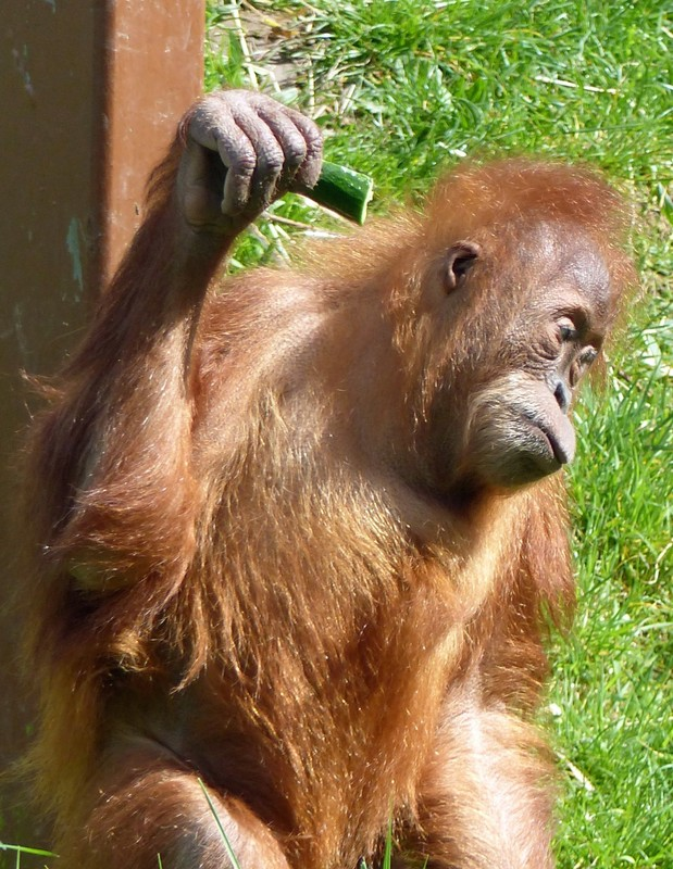 Orangutan, Jersey Zoo