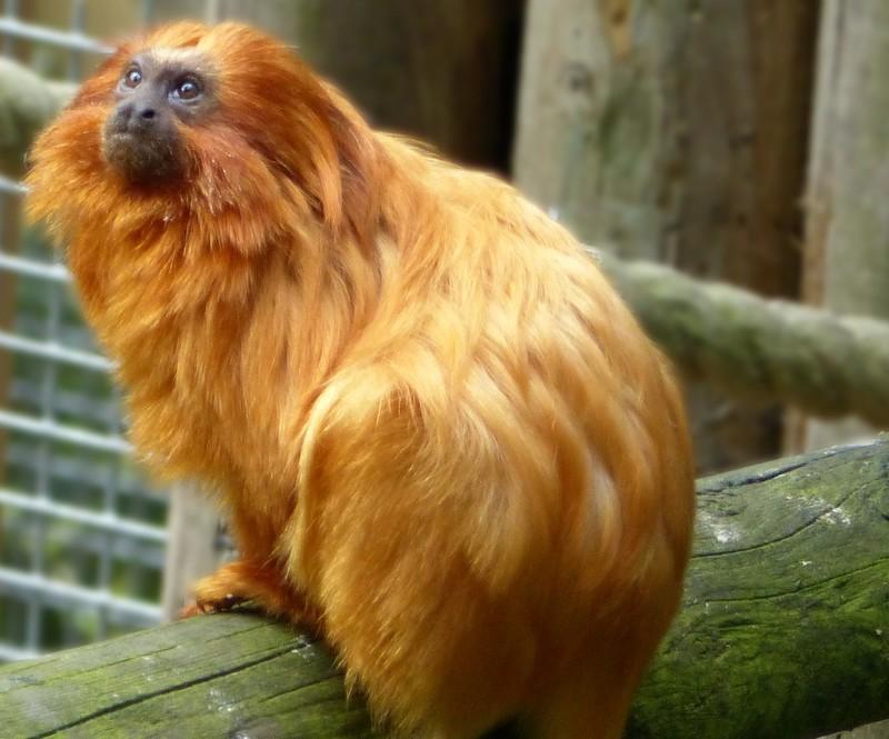 Golden lion tamarind, Jersey Zoo