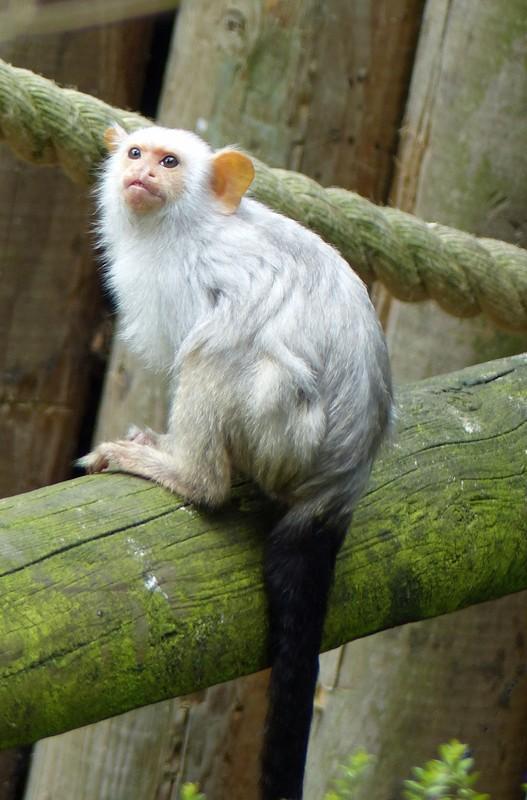 Marmoset, Jersey Zoo