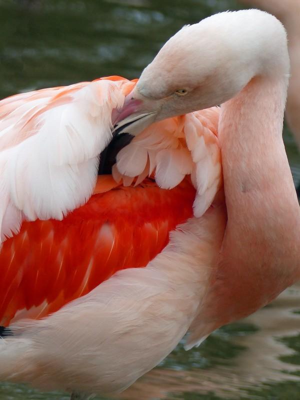 Chilean flamingo, Jersey Zoo