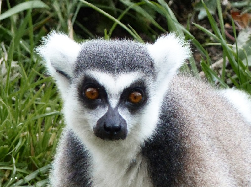 Lemur, Jersey Zoo