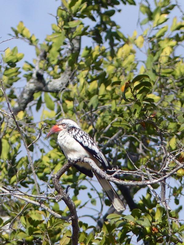 Red-billed Hornbill, Okavango Delta