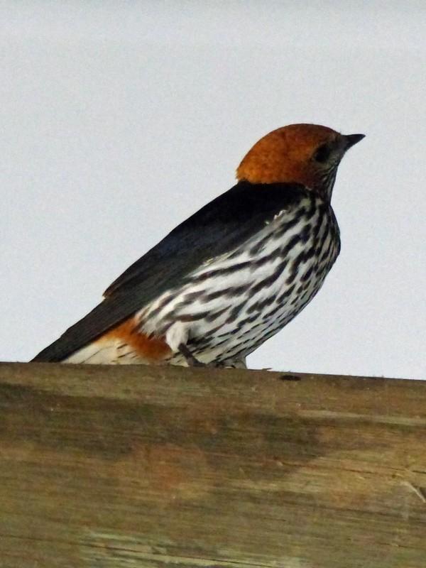 Lesser Striped Swallow, Xugana Island Lodge, Okavango Delta