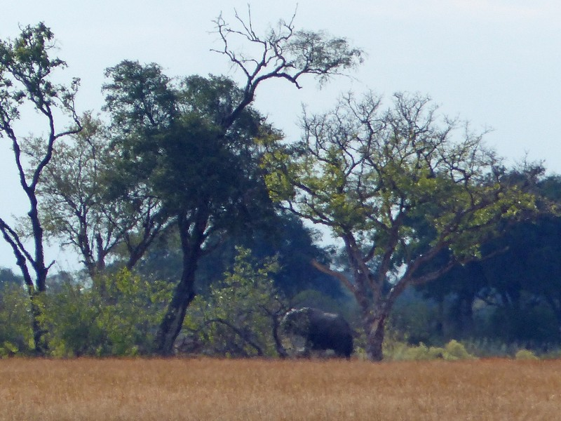 Elephant near the airstrip, Xugana Island Lodge