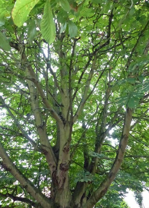 Verdun Tree, St Albans