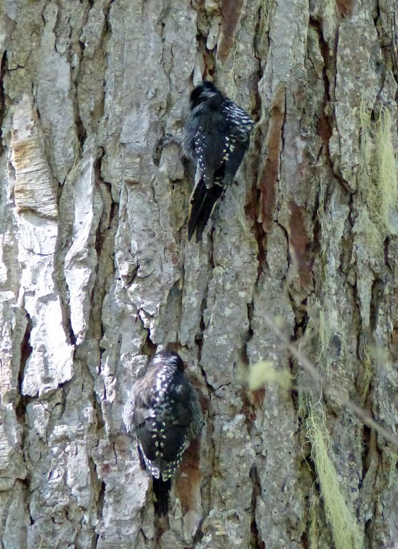Woodpeckers on the trail to Rainy Lake, N Cascades NP