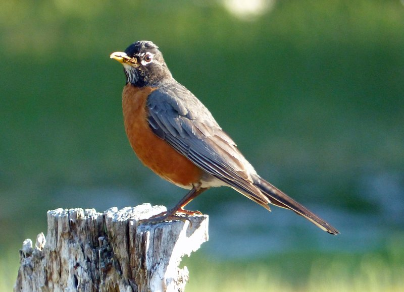 Robin at Newhalem