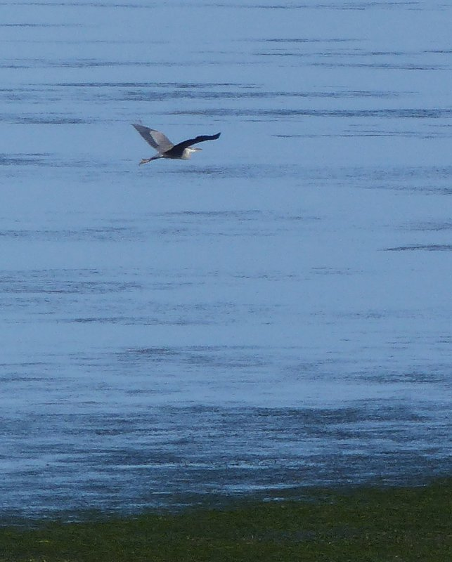 Heron in flight, Padilla Bay