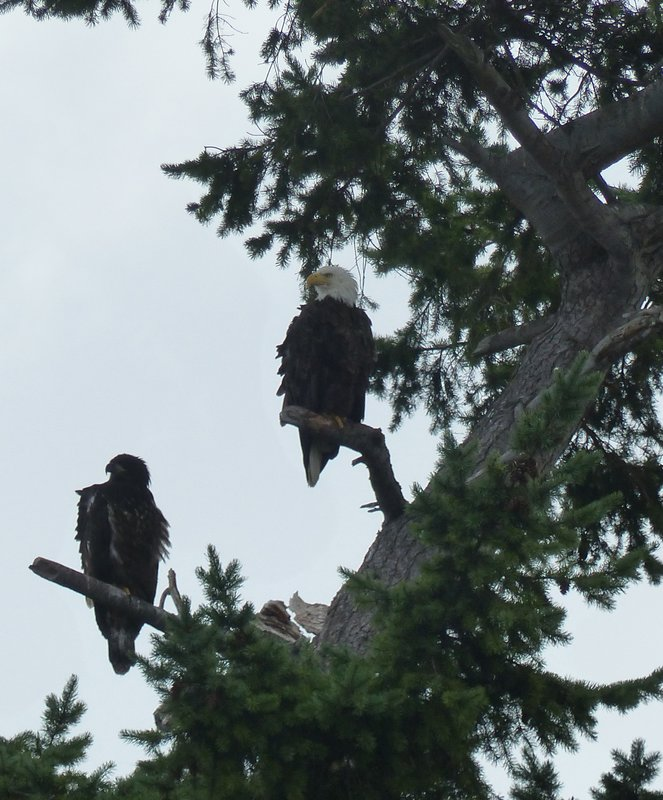 Bald eagle and chick, near Friday Harbor