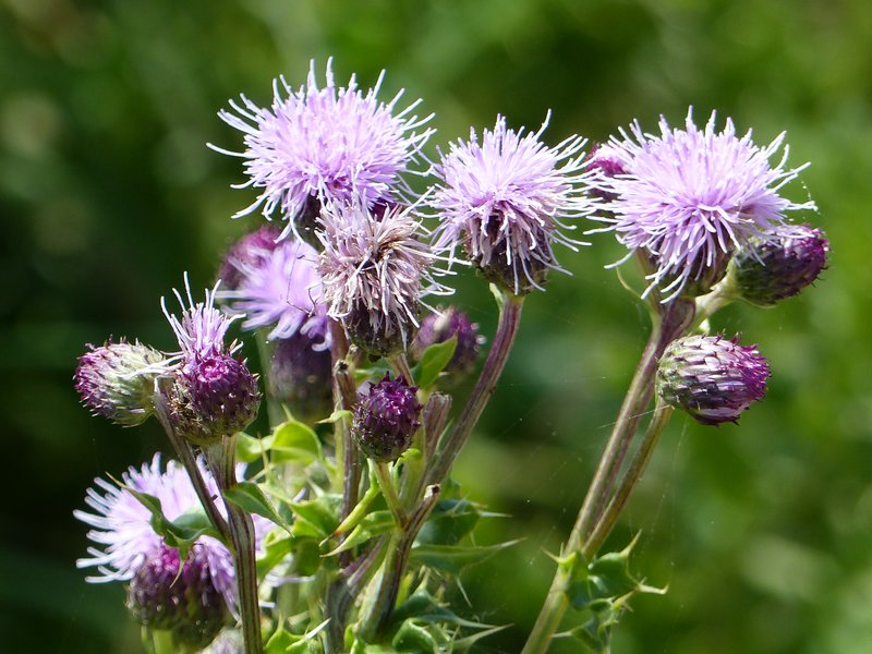 Thistles at Cattle Point