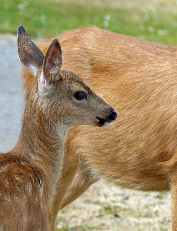 Deer with fawn, Cornet Bay