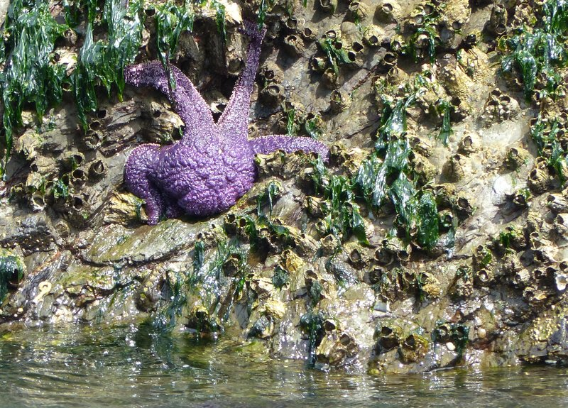 Purple starfish, Deception Pass