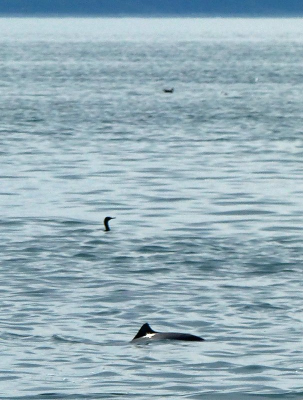 Harbour porpoise, Deception Pass