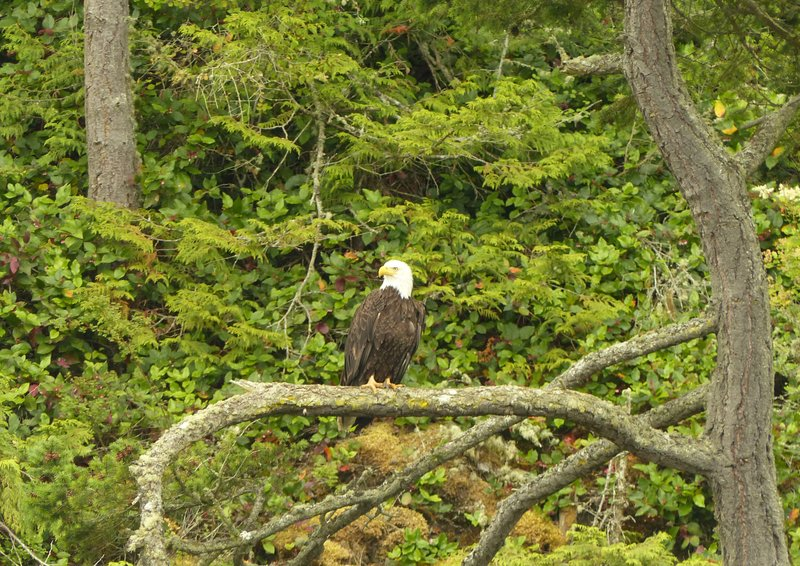 Bald eagle, Deception Pass