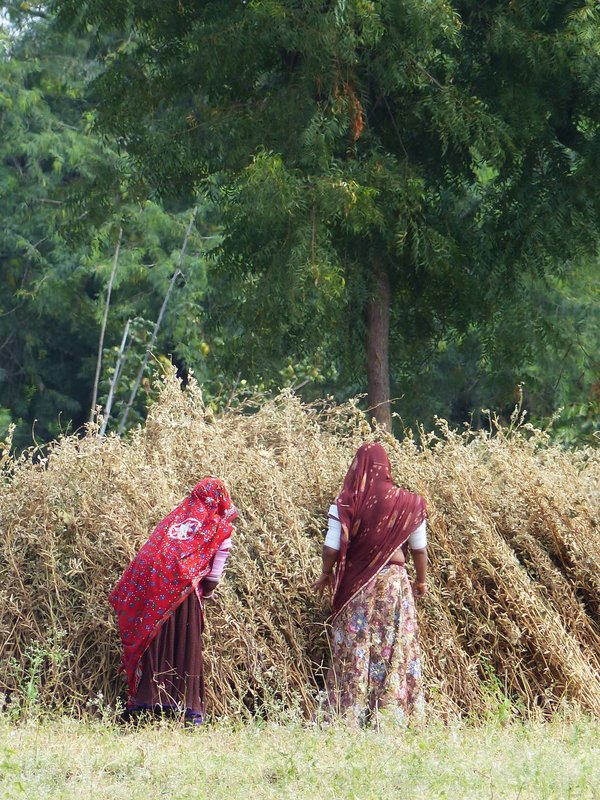 Farming near Sadri