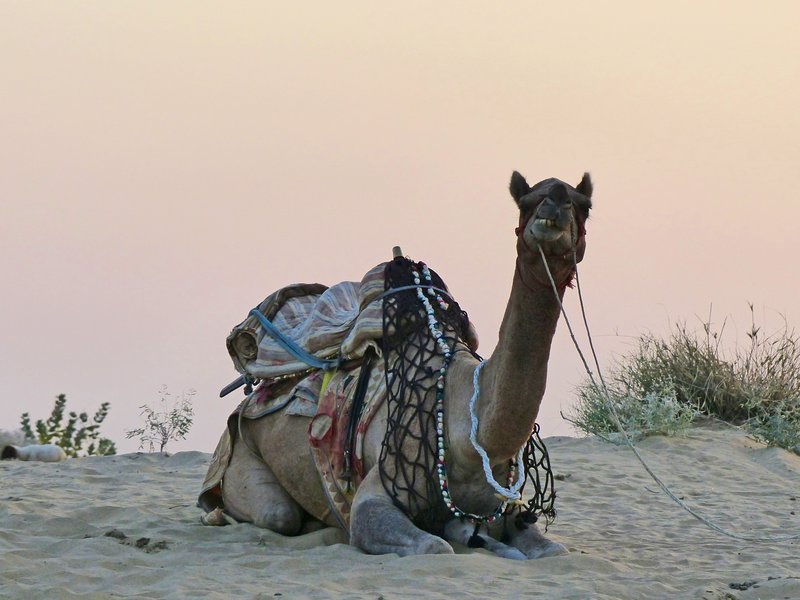 Sunset camel ride, Samsara desert camp