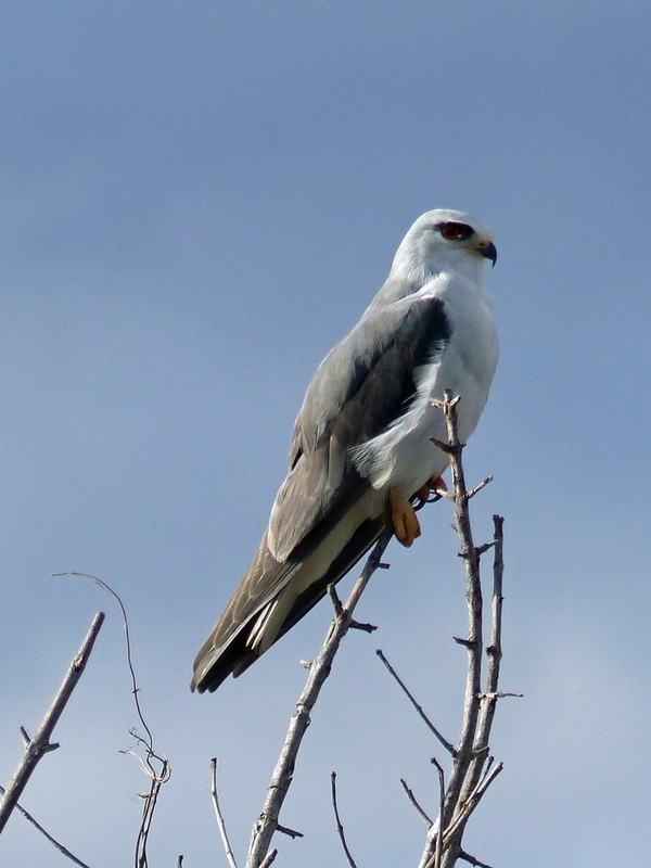 Black-shouldered Kite, Okavango Delta