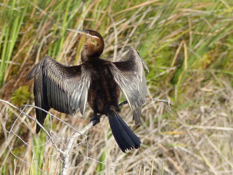 African Darter, Okavango Delta