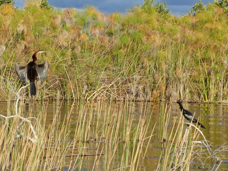 African Darter and Reed Cormorant, Okavango Delta