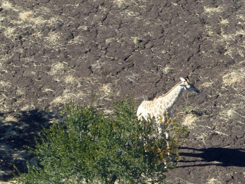 Helicopter flight above Victoria Falls - giraffe in the national park