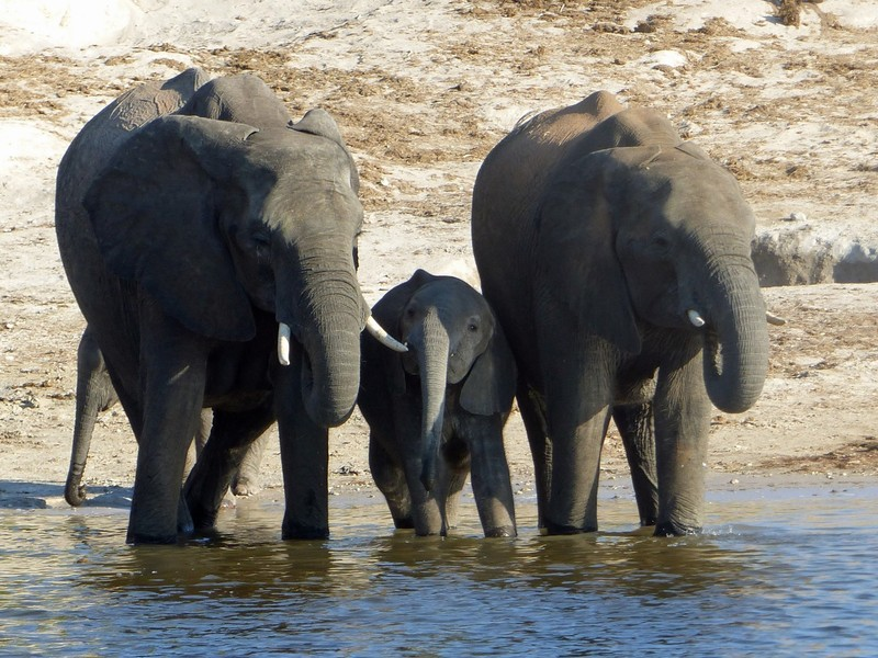 Elephants by the Chobe River