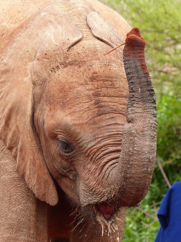 Young elephant at the David Sheldrick Elephant Orphanage