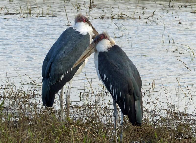 Marabou Storks, Chobe National Park