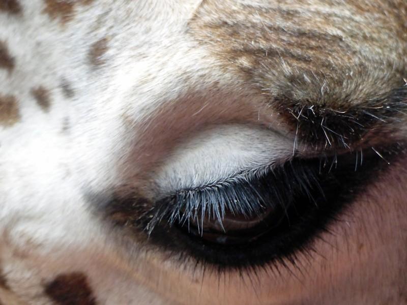 Eye of a giraffe