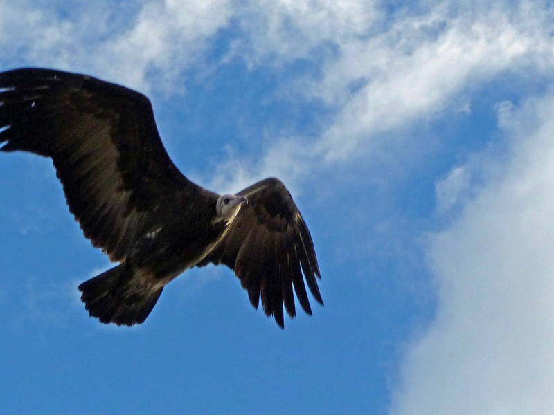 Fish Eagle in flight, Palm Island, Okavango Delta
