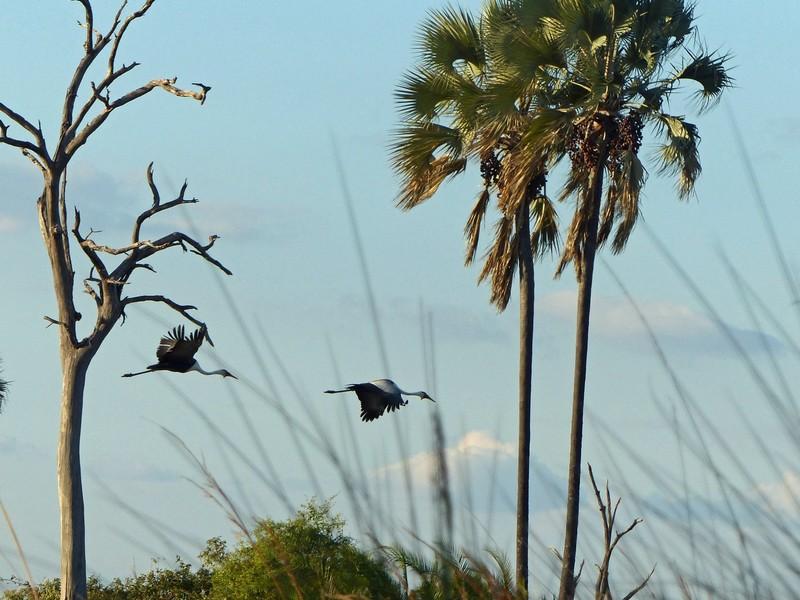 Wattled Cranes in flight, Okavango Delta