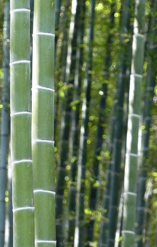 Bamboo at Tenryu-ji Temple