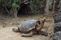 Saddleback tortoise at the Charles Darwin Research Centre
