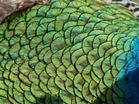Peacock at Bachkovo Monastery