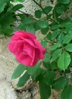 Rose at Bachkovo Monastery
