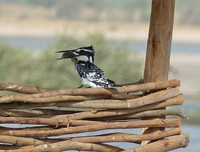 Pied Kingfisher with fish, Souimanga Lodge