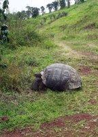Giant tortoise, Santa Cruz highlands