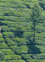 Tea plantation near Munnar