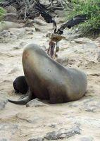 Snatching the placenta - Galápagos Islands