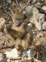 Young baboon, Chobe National Park