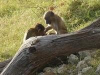Baby baboons, Chobe National Park